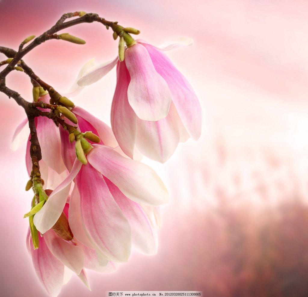 木兰花图片