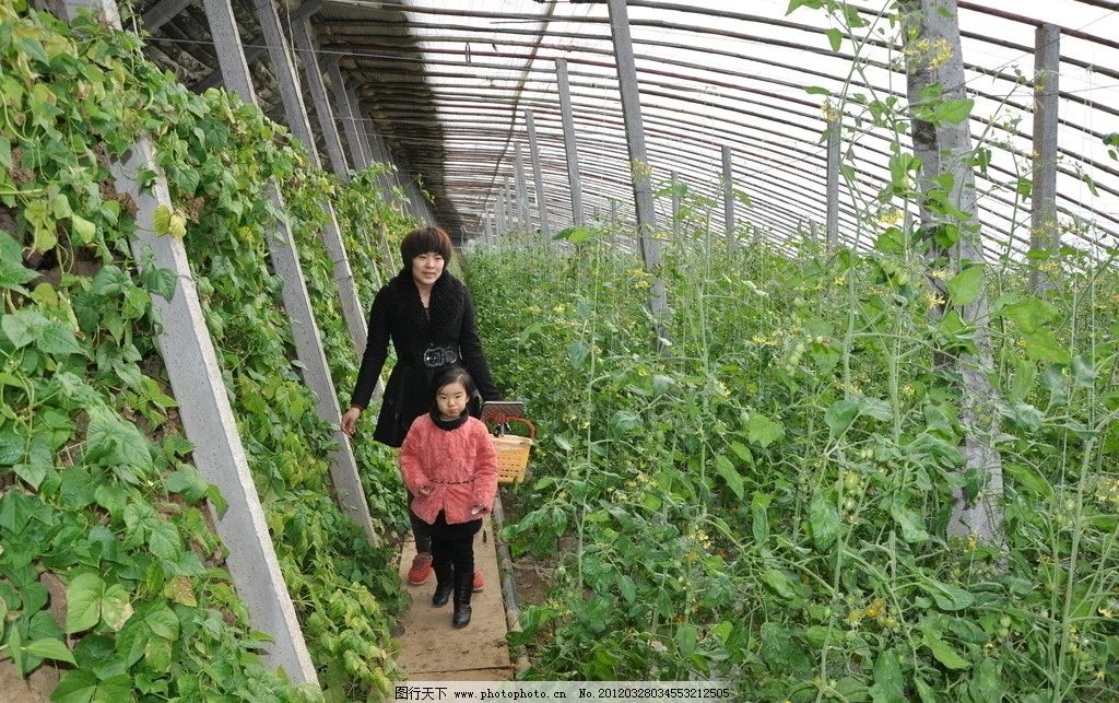 温室大棚蔬菜大棚西红柿图片