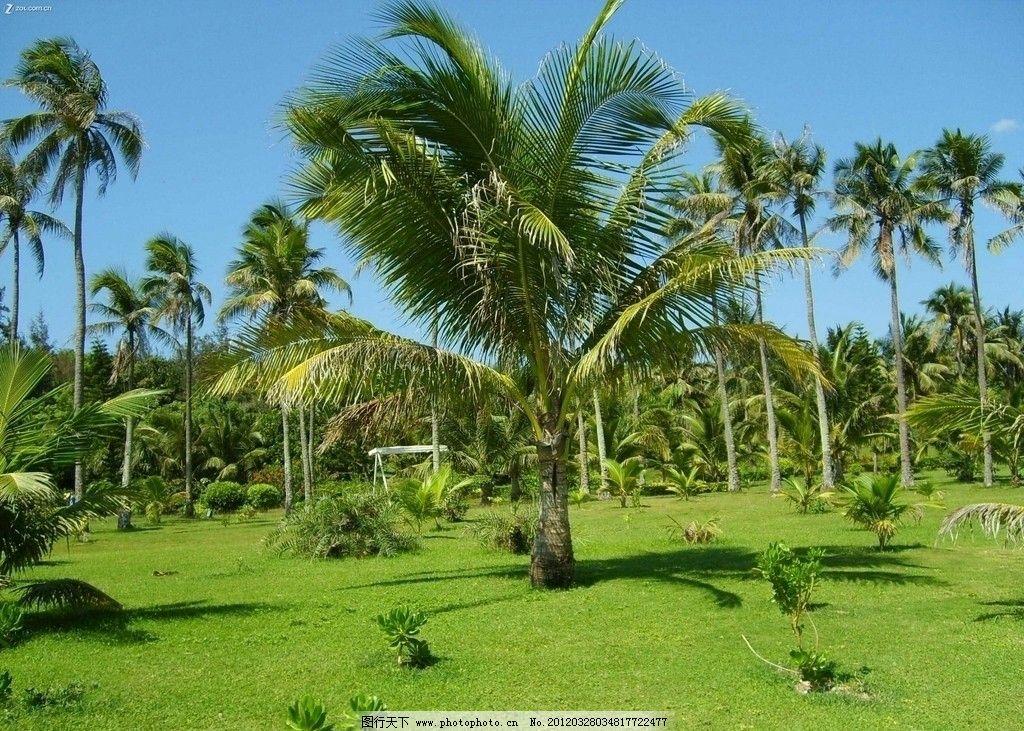 三亚风景 海南三亚 椰子树 草地 自然风景 自然景观 摄影