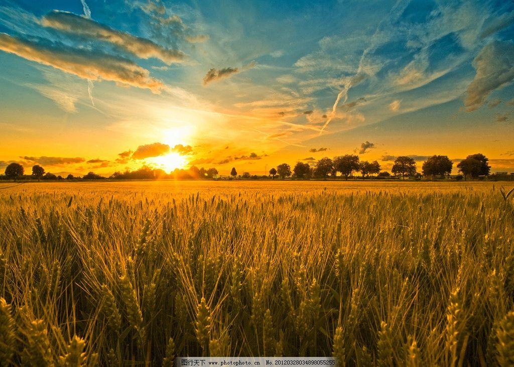 夕陽 麥田 小麥 麥穗 樹 藍天 白云 自然風景 自然景觀 攝影