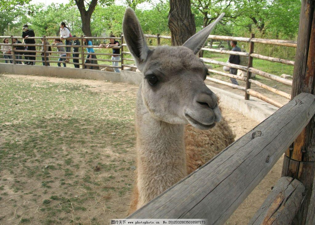 动物园里的羊驼图片