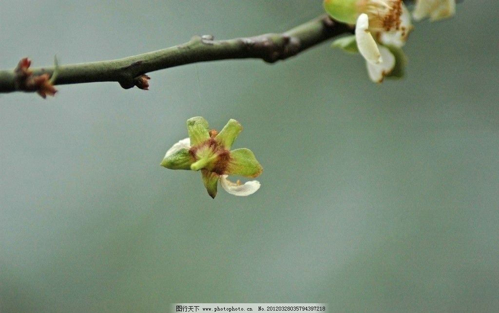 凋零的梅花朵图片