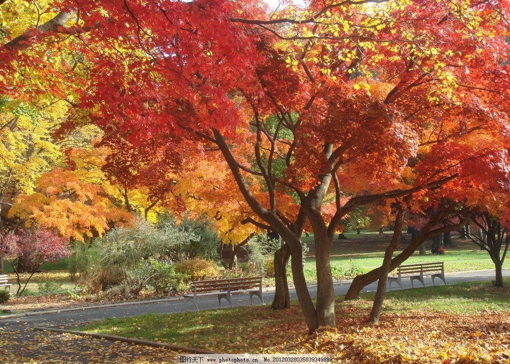 枫叶 红叶 枫树 树木 树林 秋天 摄影
