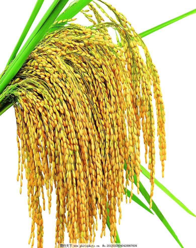 种植水稻简笔画