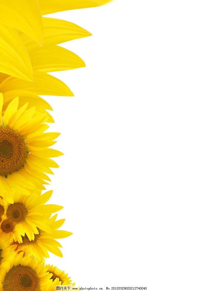 向日葵 背景 黄色 素材图 背景底纹 底纹边框 设计 300dpi jpg