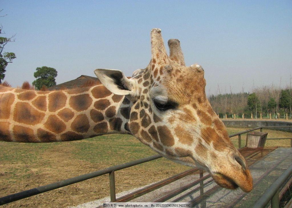长颈鹿 动物园 野生动物 生物世界 摄影 180dpi jpg