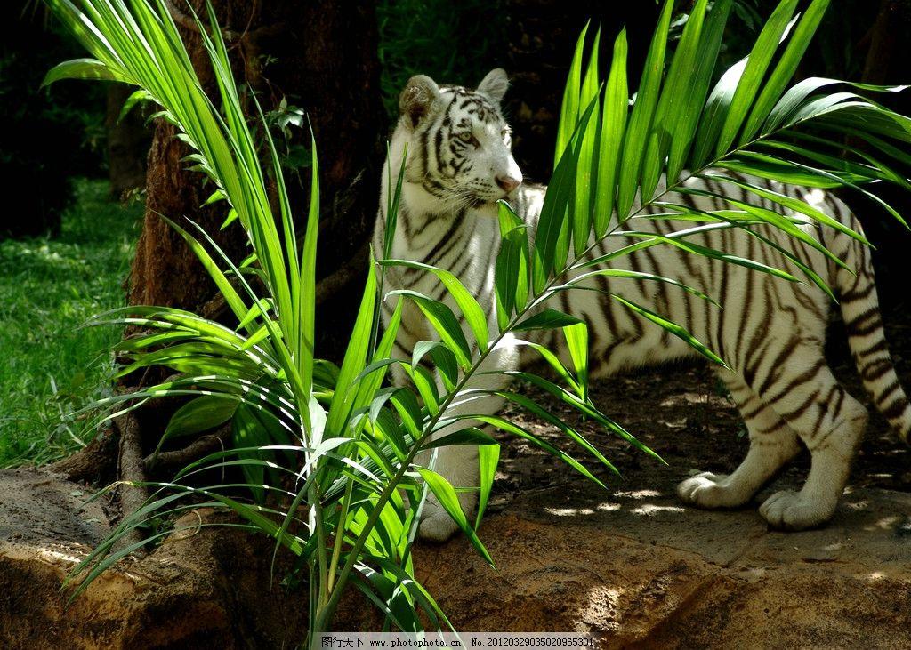 白老虎 野生 动物 自然 森林 公园 野生动物 生物世界 摄影 72dpi jpg
