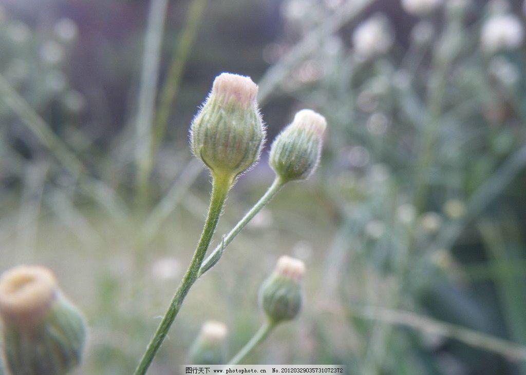 蒲公英 摄影 花蕾 野草