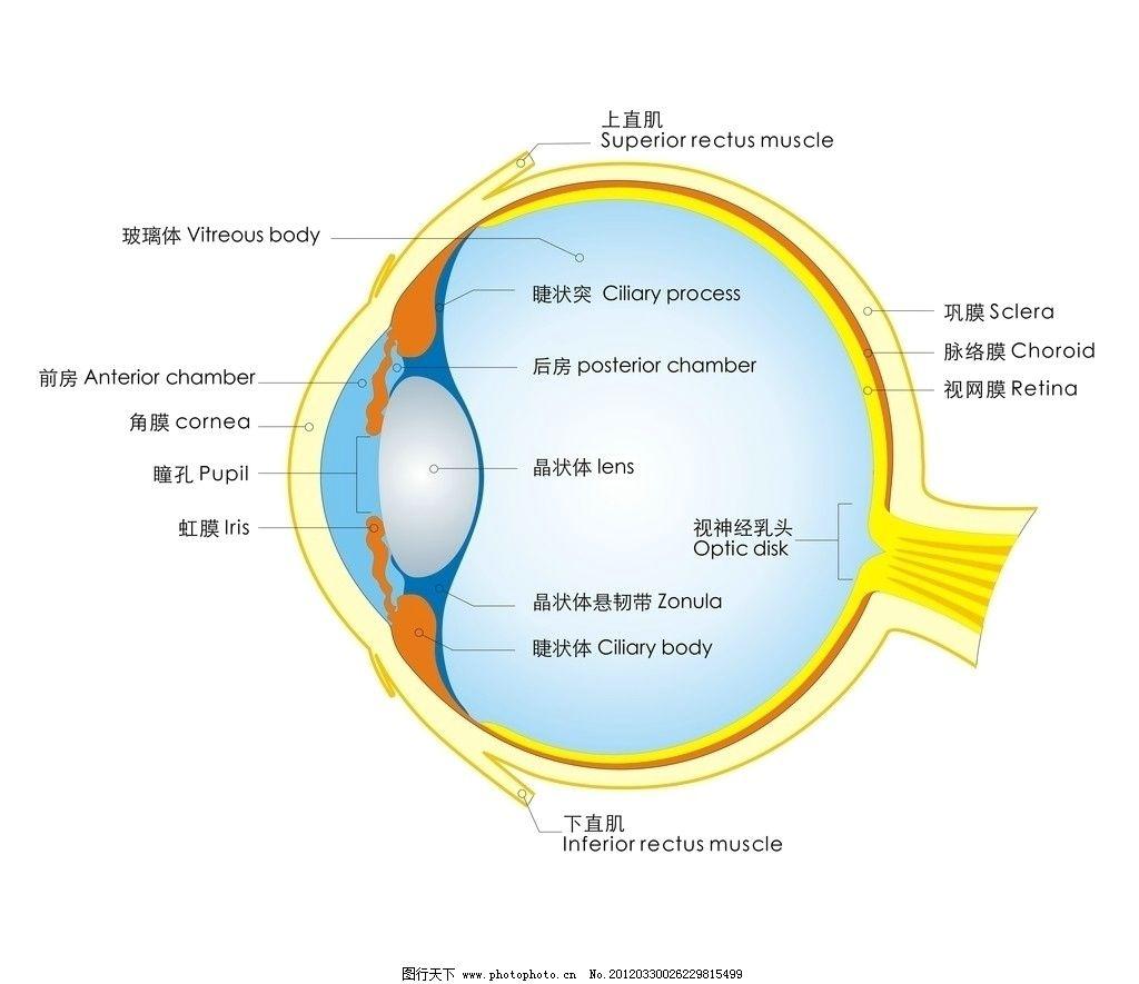 眼睛结构图图片