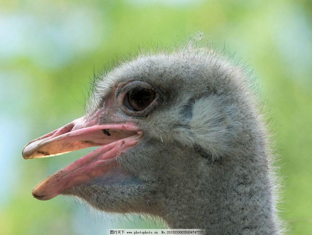 鸵鸟特写 鸵鸟 特写 珍贵 野生 保护 动物 鸟头 野生动物 生物世界