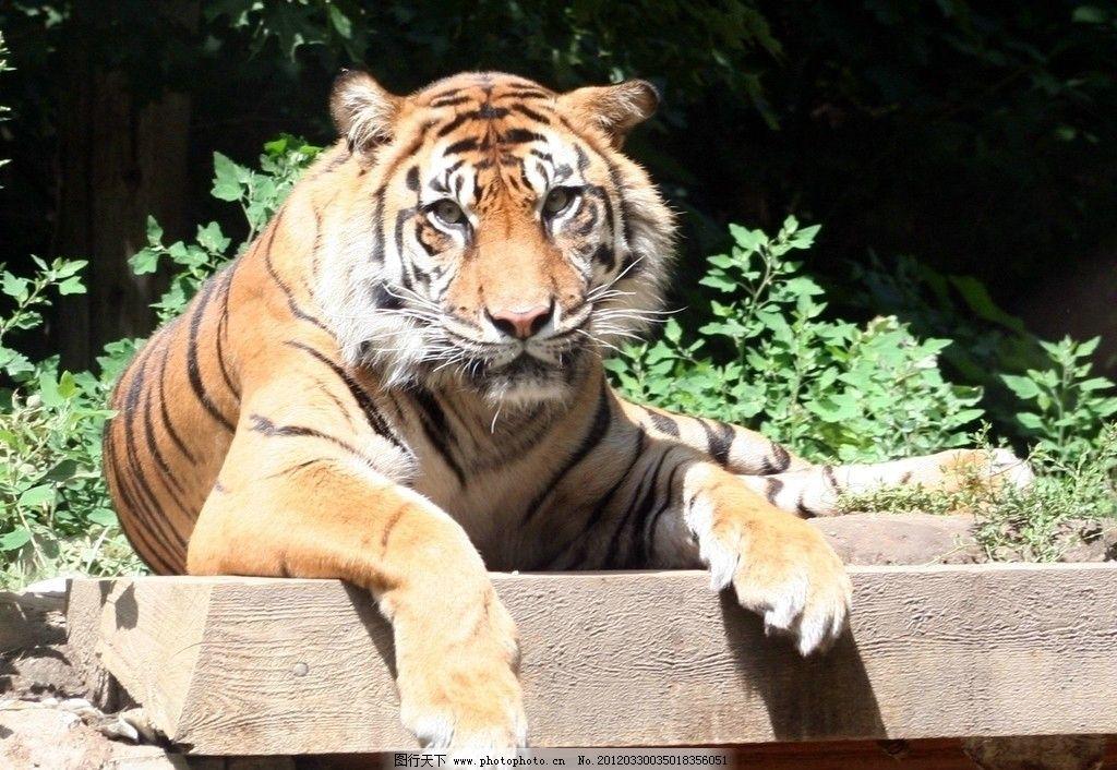 东北虎 老虎 华南虎 野生 珍贵 保护 动物 野生动物 生物世界