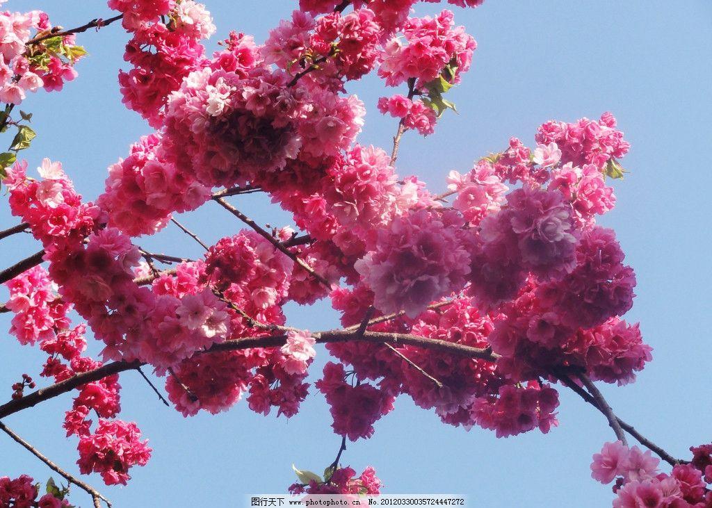云南樱花(非高清) 云南樱花 红花 绿叶 枝条 天空 花草 生物世界 摄影