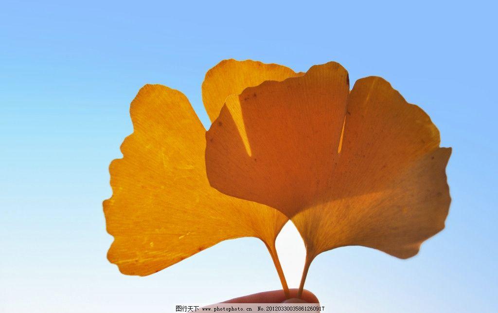 银杏叶 蓝天 树木树叶图片