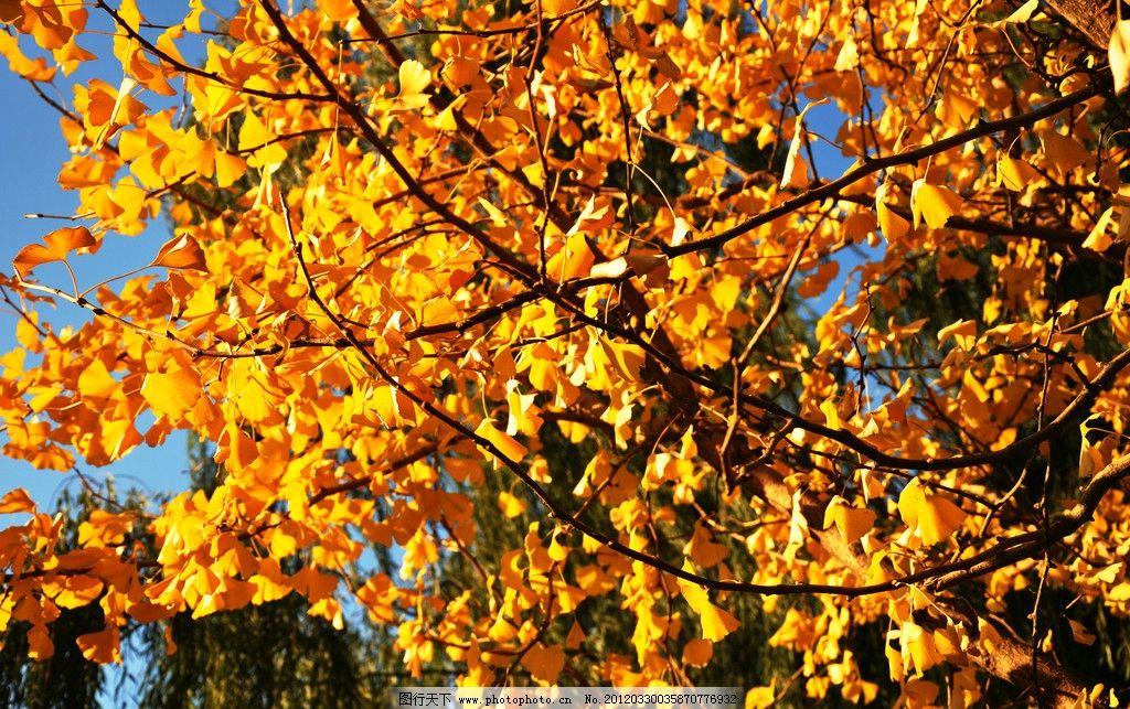 银杏 银杏随想 银杏叶 树木树叶 生物世界 摄影 300dpi jpg