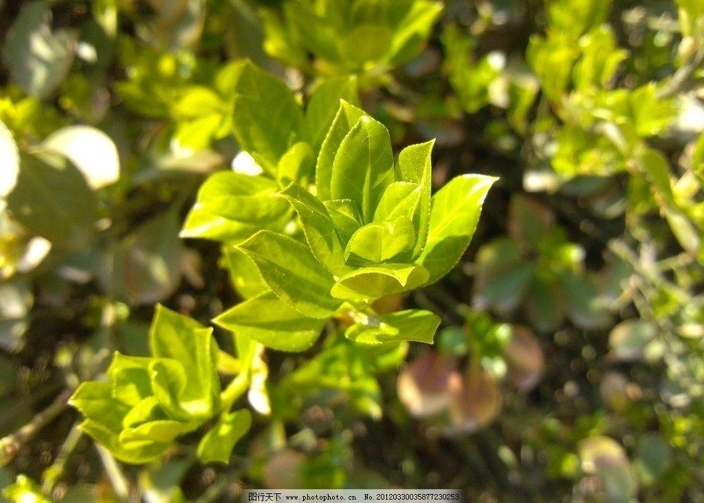 冬青 绿叶 植物 树木树叶 生物世界 摄影 72dpi jpg