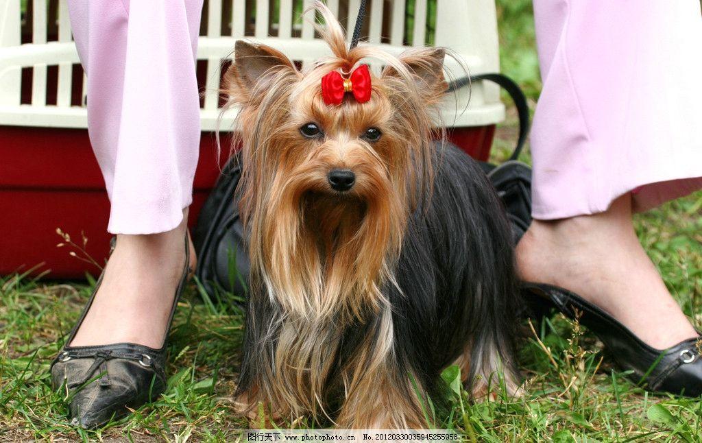 可爱小狗 狗狗 宠物 犬类 家禽家畜宠物 摄影