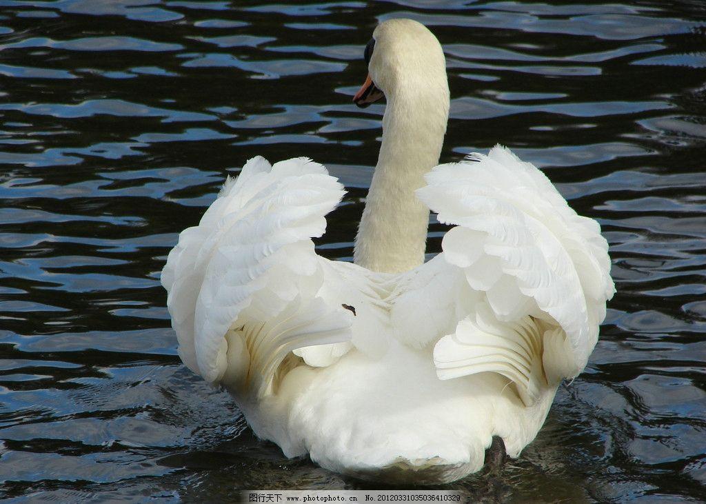 天鹅 鹅 湖水 水面 可爱 可爱动物 动物 生物 动物世界 摄影      jpg