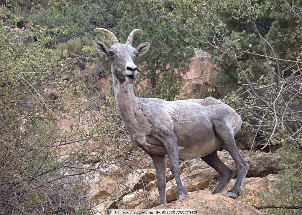 野生山羊 野生 山羊 羚羊 动物 自然 森林 野生动物 生物世界 摄影 72