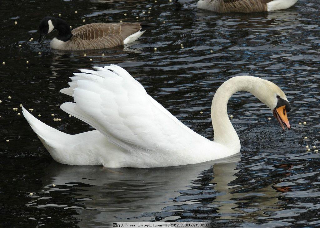 天鹅 湖水 水面 可爱 可爱动物 生物 动物世界 摄影 动物图片