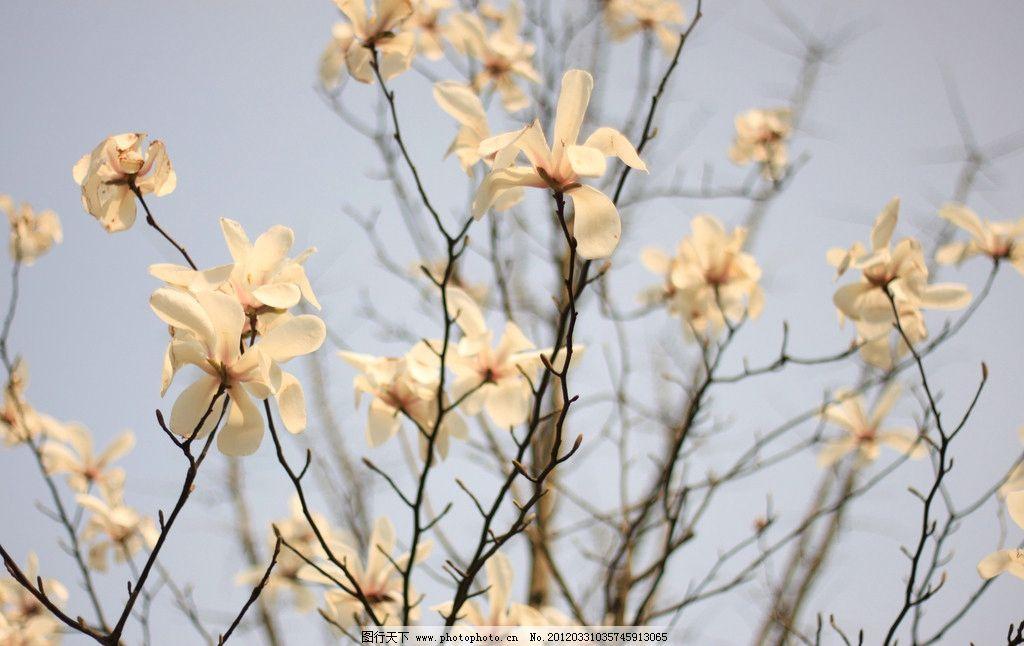 树枝花瓣图片